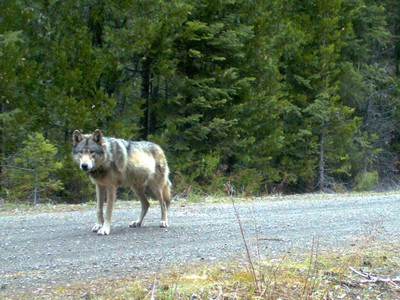 Protecting Cattle From Wolves Becomes A Community Effort In Southern Oregon