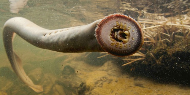 Lamprey may be unattractive, but Confederated Tribes of Warm Springs Councilman Ron Suppah says you have to ultimately respect the ancient fish.