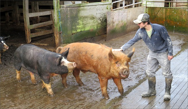 Hidden River Farms grows grain near Montesano, Washington, to fatten these heritage hogs.