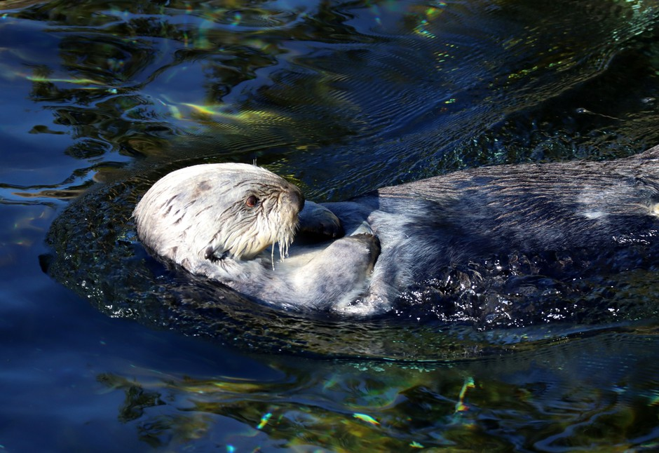 Presently, the only places to see sea otters in Oregon are at the Oregon Zoo and the Oregon Coast Aquarium, where this guy lives.