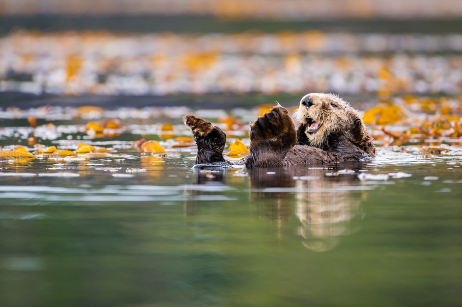 A sea otter in the waters off Vancouver Island