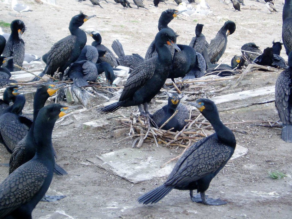 Double-crested cormorants on East Sand Island near the Columbia River mouth in 2007.