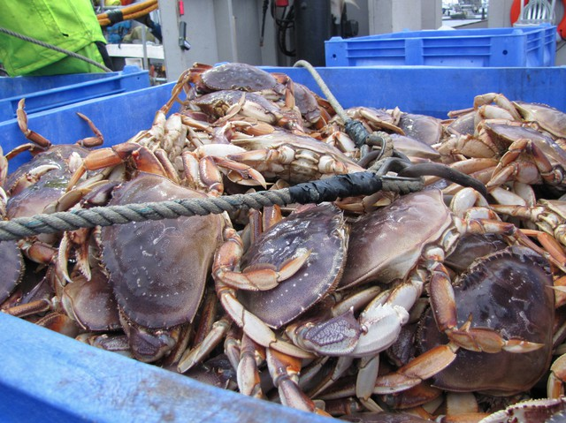 Dungeness crab being unloaded at the Quinault Indian Nation docks in Westport, Washington. Almost a quarter of the tribe is employed in the fishing industry.