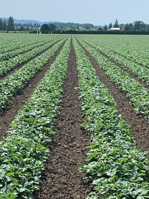 Crops grow in rows at a Townsend Farms location in the Willamette Valley, Ore.