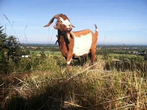 Briana Murphy's goats can clear 150 pounds of foliage a day.