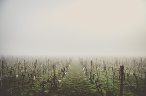 Vineyards burnt and covered in ash show the devastation wildfires bring to wineries.