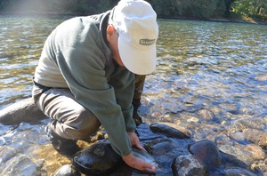 The Green River is a gene bank river, which means it's important for the survival of wild steelhead.