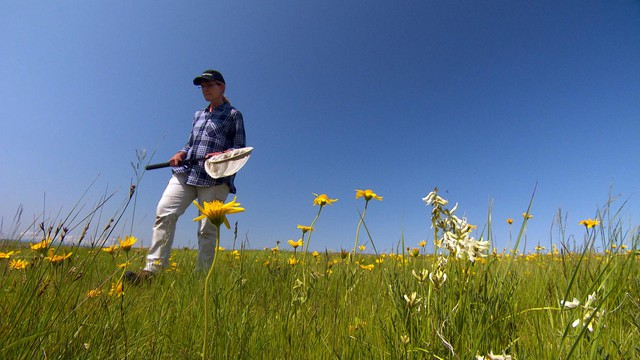 Oregon State University invertebrate ecologist Sandy Debano collects bees for the Oregon Bee Atlas on the Zumwalt Prairie in northeastern Oregon.