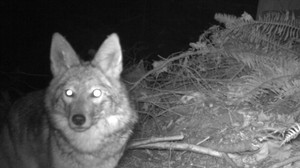 A coyote passes by a game camera in Seward Park.
