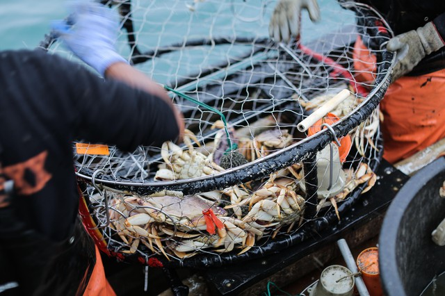 A crab pot with caught Dungeness crab inside, off the port of Port Orford.