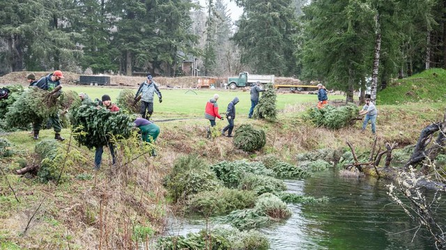 Members of the Tualatin Valley chapter of Trout Unlimited toss used Christmas trees into a side channel of the Necanicum River on the Oregon Coast.