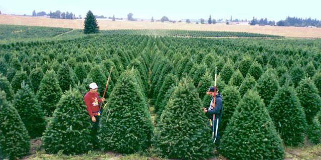 Oregon tree farmers have faced down a trade war before.