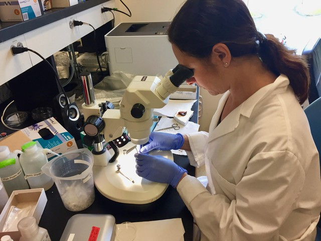 Washington State University neuroscientist Allison Coffin dissects the ear of a midshipman fish at her lab in Vancouver, Washington.