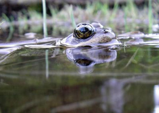 Cascades frogs like this one face multiple threats: they're eaten by non-native trout, and now, increasingly, they're losing habitat to climate change.