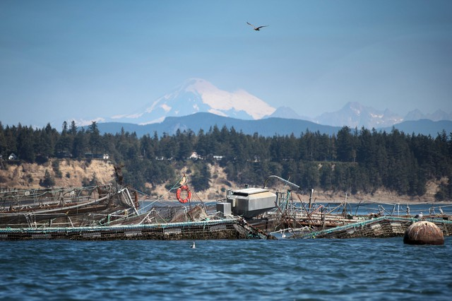 What appears to be a destroyed net pen at Cooke Aquaculture's facility on Cypress Island is shown on Tuesday, August 22, 2017.