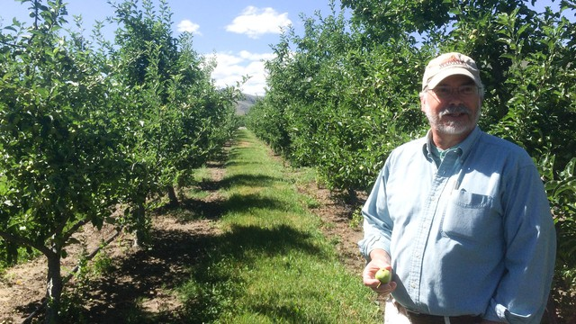 Frank Peryea, Washington State University professor emeritus, shows off apples that have been infested by coddling moth caterpillars on an experimental plot at the university's Tree Fruit Research & Extension Center.