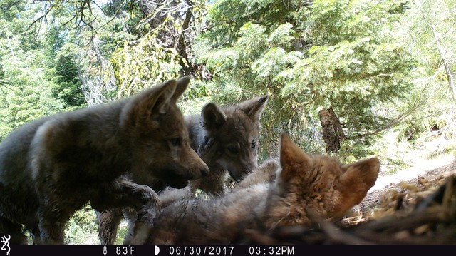 The Lassen Pack pups are captured playing in front of a trail cam.