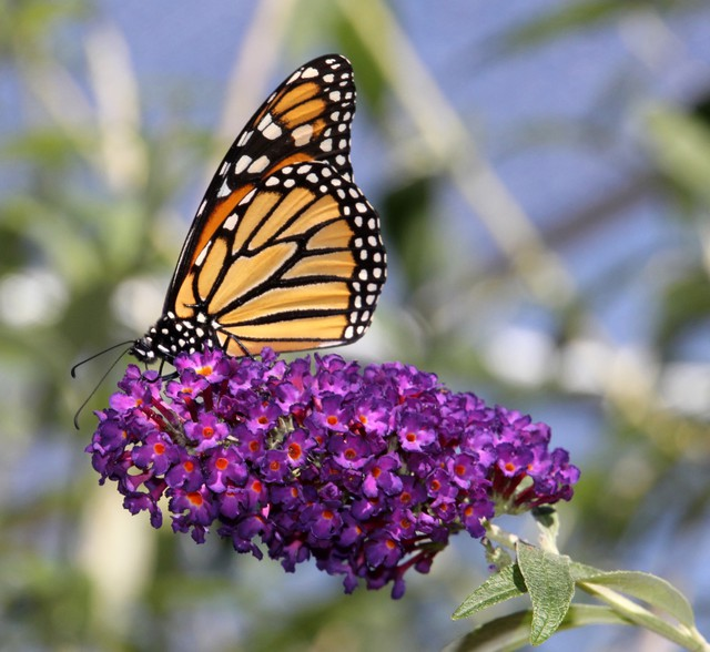 Monarch butterflieshave seen steep population declines since the 1990s. some estimates put the losses at more than 75 percent of the population over the past 30 years.