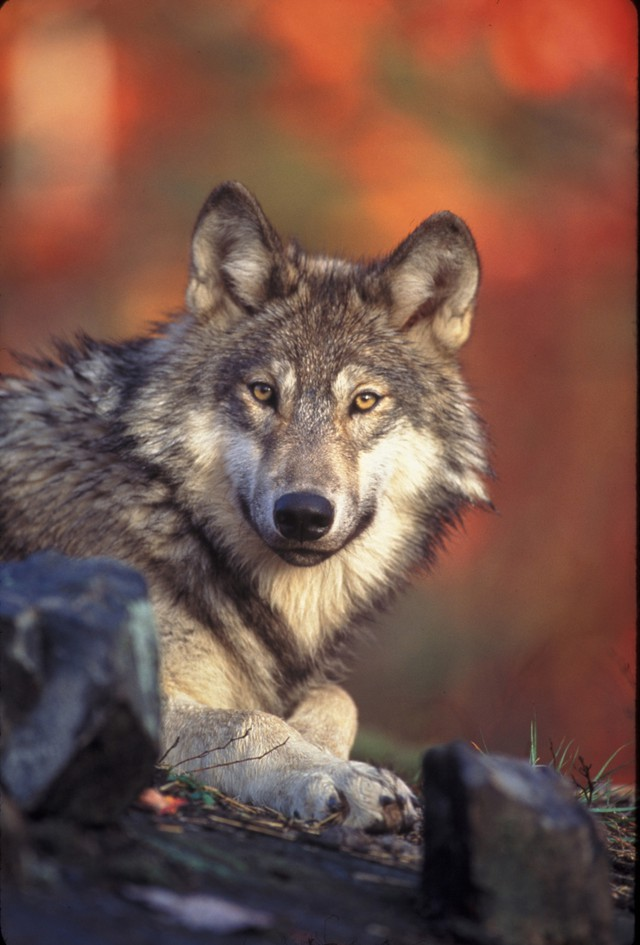 Washington state wildlife officials say the state wolf population is on the rise.