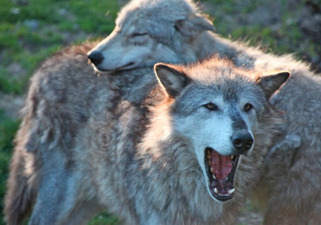 Gray wolves are protected under the federal Endangered Species Act in the eastern two-thirds of Washington State.