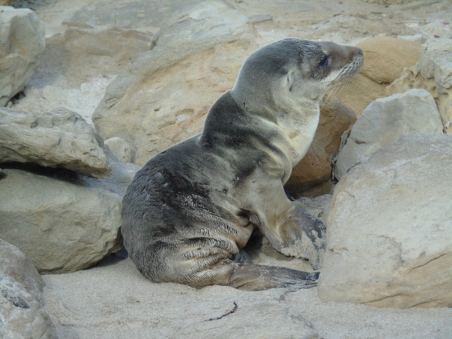 An emaciated sea lion pup in California's Channel Islands.