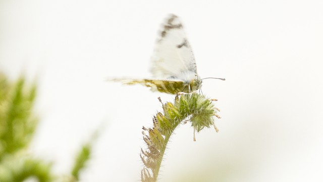 The island marble, considered one of the rarest butterflies in North America, only exists in a small section of the San Juan Island National Historical Park.