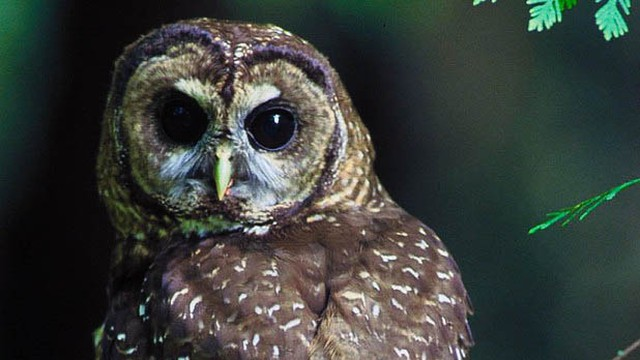 Logging and barred owls are major threats to the Northwest's spotted owl. But there's another threat that's increasing every year for the endangered bird: fire.