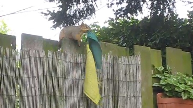 A caller to OPB's Think Out Loud program about urban wildlife shared the story of a squirrel who was stealing her prayer flags. (Screen shot from video.)