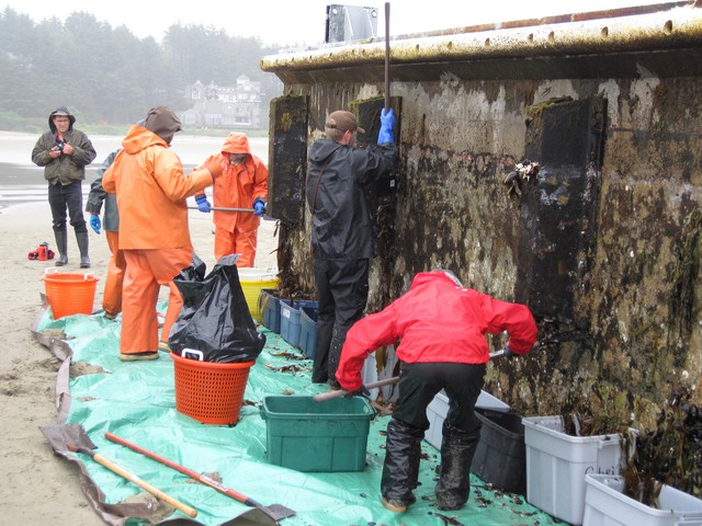Workers from Oregon Department of Fish and Wildlife remove marine organisms in order to prevent invasive species from a derelict Japanese dock that washed up on Agate Beach. Credit: OSU's Hatfield Marine Science Center.