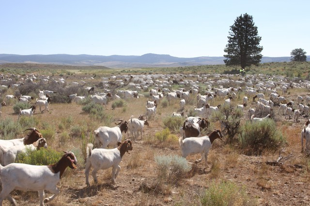 In addition to more than 4,000 cattle, Silvies Valley Ranch includes a herd of more than 1,500 South African Boer goats.