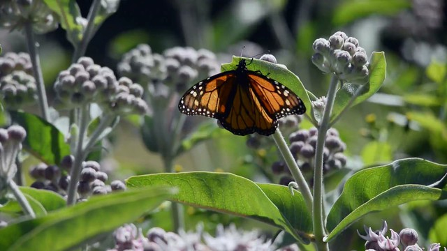 Where Have All Monarchs Gone >> Where Have The West S Monarch Butterflies Gone