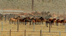 The collection of pens at the Oregon BLM corrals near Burns have held from 600 to more than 1000 horses at a time in recent years.