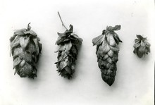 Hop cones varieties documented by the Oregon Agricultural Experiment Station in 1930