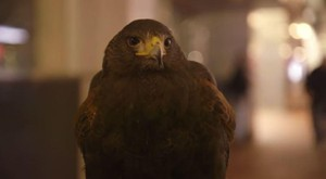 This young Harris's hawk, named Clive, is on patrol for the roughly 10,000 crows roosting in downtown Portland.