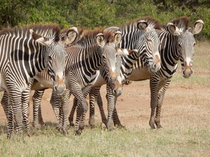 The Portland-based nonprofit Wild Me has developed a tool called Wildbook. It uses artificial intelligence to identify individuals in a species. It can analyze 10,000 photos of zebras to locate a particular individual in two minutes.