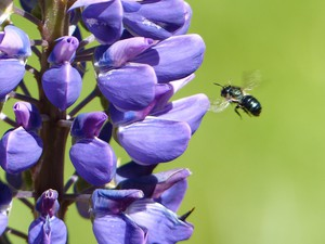 Wild bees are more abundant than cultivated bees. That's one reason they are considered important pollinators.