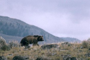 This undated file photo provided by the National Park Service shows a grizzly bear walking along a ridge in Montana.