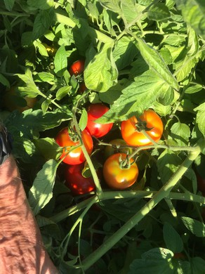 Dry farmed early girl tomatoes in Philomath, Ore.