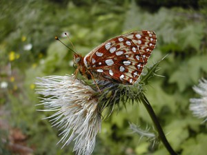 Oregon silverspot butterfly was listed as a threatened species with critical habitat in October 1980.