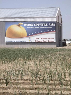 Onion growers and packers are racing to rebuild storage and packing facilities after many were destroyed or damaged by last winter's heavy snows. A light crop this year may take some of the pressure off.