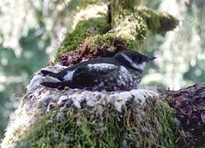 The presence of federally protected marbled murrelet is ratcheting up the debate over the sale of state forestlands to private timber companies.