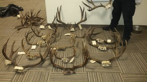 Oregon Fish and Wildlife Police seized several antler sets in the course of investigating suspected poacher Gene Parsons and others.