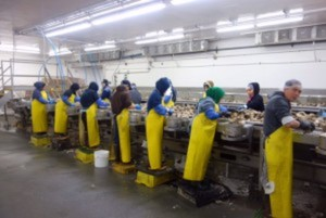 Workers shucking oysters.