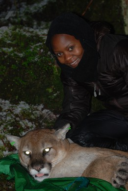Carol Bogezi with a cougar that was sedated in the Marckworth State Forest east of Duvall, Jan 2013.