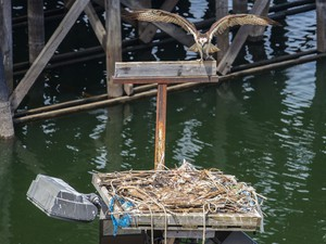 An osprey prepares to hop from its perch to a nest on top of  a platform on a pole at Gunderson Marine in northwest Portland.