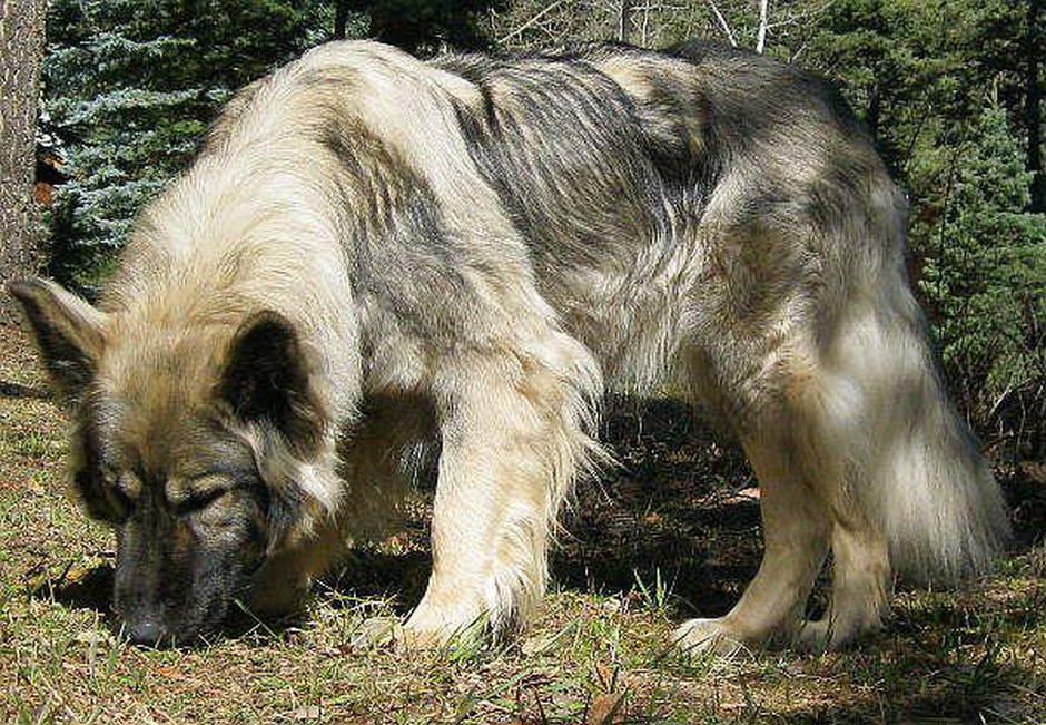 Dear Prudence is an American Alsatian DireWolf Dog. Breeder Lois Schwartz is creating a breed of dog that looks like a prehistoric dire wolf, but has the temperament of a domestic animal.