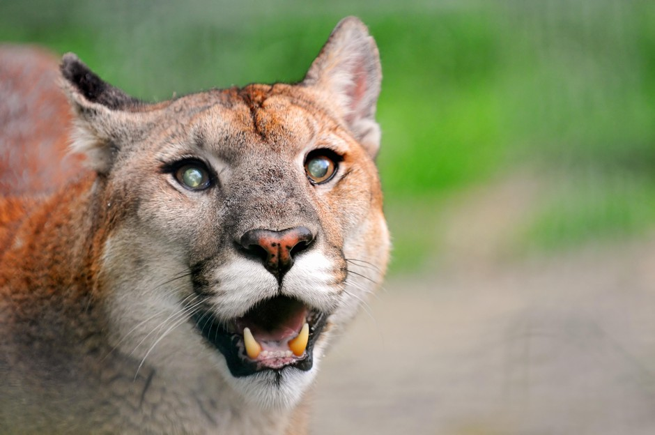 After a suspected fatal cougar attack near Mount Hood, activists have renewed debate over hunting the animals.