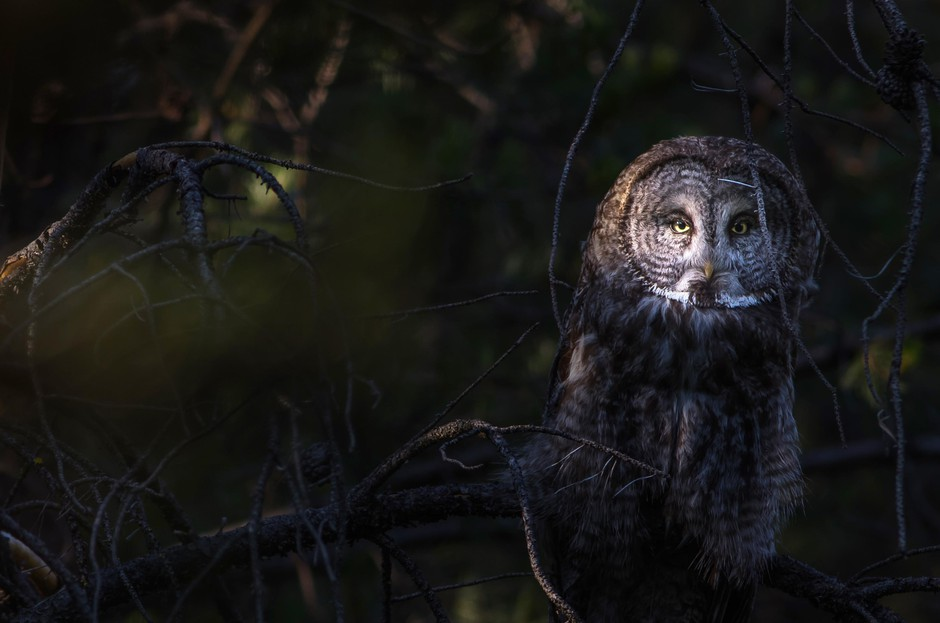 The elusive Great Grey Owl.