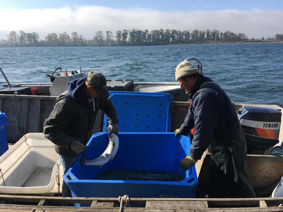 Fisherman Blair Peterson, right, harvests fish from an experimental fish trap on the lower Columbia