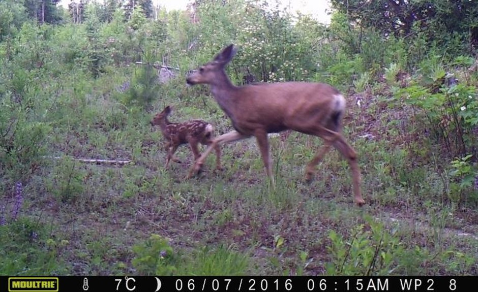 Mule deer taken from a trail camera near Republic, Washington. As wolves return to Washington state, deer have taken notice. Researchers found deer change how they react when wolves are near – and that could eventually change how hunters hunt.